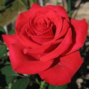 """""""Solo llevaba un ramo de rosas rojas en mi mano"""""""